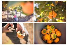 Persimmon picking in San Diego